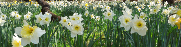 Bank of Flowers at Daffodil Hill